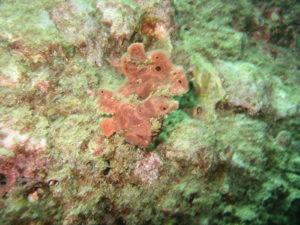 奈良ダイビングスクール I-FISHのイロカエルアンコウの写真1