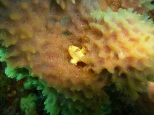奈良ダイビングスクール I-FISHのイロカエルアンコウの写真2