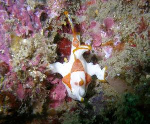 奈良ダイビングスクール I-FISHのクマドリアンコウの写真1