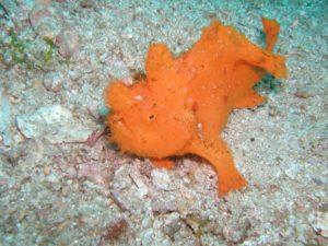 奈良ダイビングスクール I-FISHのカエルアンコウの写真
