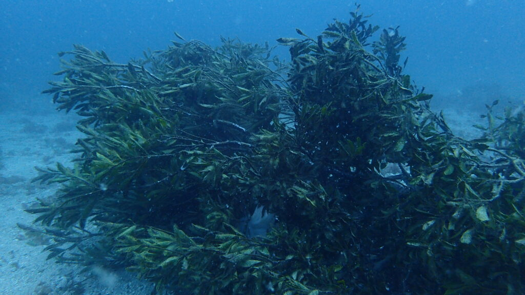 アオリイカ産卵礁
