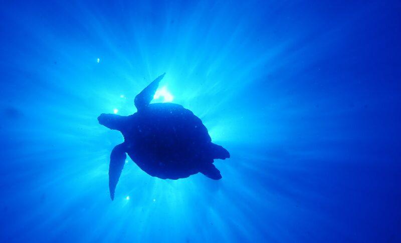ダイビング写真 アオウミガメ